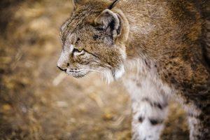 Animales más característicos del bosque mediterráneo - Lince ibérico