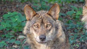 Animales más característicos del bosque mediterráneo - Lobo ibérico