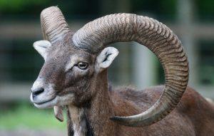 5 animales más característicos de Francia - Muflón