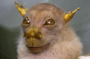 Murciélago de nariz tubular