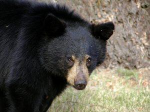 5 animales característicos del bosque caducifolio - Oso negro