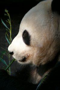 Qué fauna predomina en el bosque de bambú