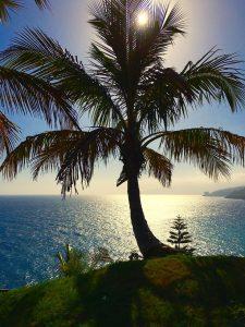 5 plantas y árboles característicos de las islas Canarias - Palmera canaria