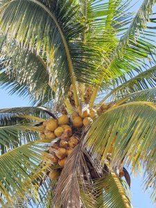 Plantas y árboles característicos de la región Caribe - Coco nucifera