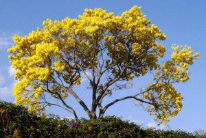 Plantas y árboles característicos de la región Caribe- Guayacán