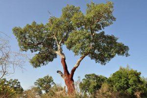 Plantas y árboles más característicos del bosque mediterráneo - Alcornoque
