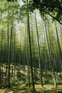 Qué características tiene el bosque de bambú