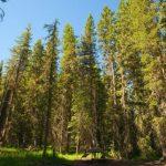 Bosque Boreal: [Características, Flora, Fauna y Temperatura]