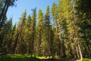Qué es el bosque boreal