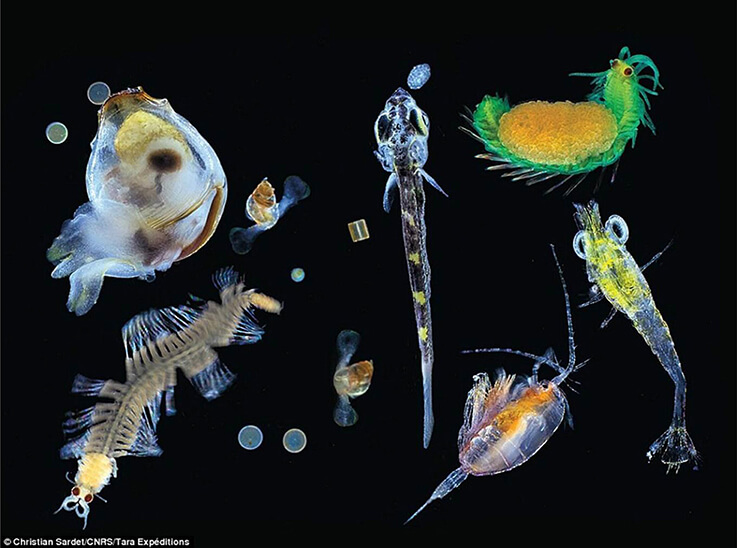 5 plantas características del océano �rtico - Plancton