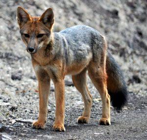 Qué fauna predomina en el clima árido frío