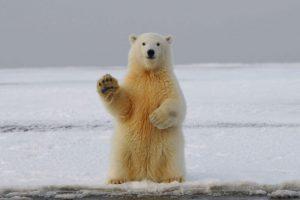 Qué fauna predomina en el clima polar