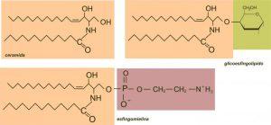 Qué forman los esfingolípidos