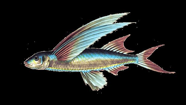 Qué son los peces voladores