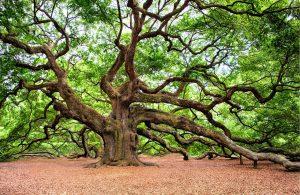 5 árboles característicos delbosque caducifolio - Roble
