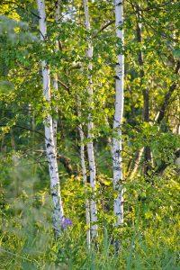 Qué flora predomina en el bosque caducifolio