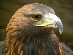 5 animales más característicos de Francia - Águila real