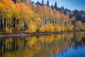 5 árboles característicos delbosque caducifolio - Álamo