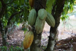 5 plantas y árboles característicos del bosque tropical - Cacao