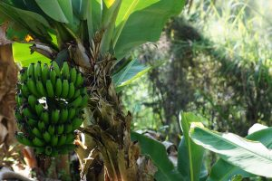 5 plantas y árboles característicos del bosque tropical - Plátano