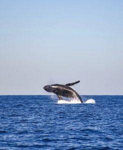 Qué fauna predomina en el océano Pacífico