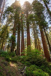 Qué es el bosque de secuoyas