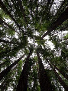 Dónde se ubica el bosque de secuoyas geográficamente