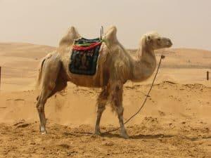5 animales e insectos más característicos del desierto - Camellos