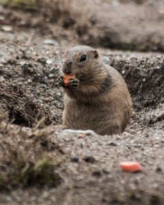 Qué fauna predomina en el bosque boreal