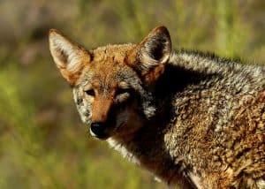 5 animales e insectos más característicos del desierto - Coyote