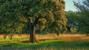 Plantas y árboles más característicos del bosque mediterráneo - Encina