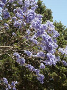 Qué flora predomina en el clima de Australia