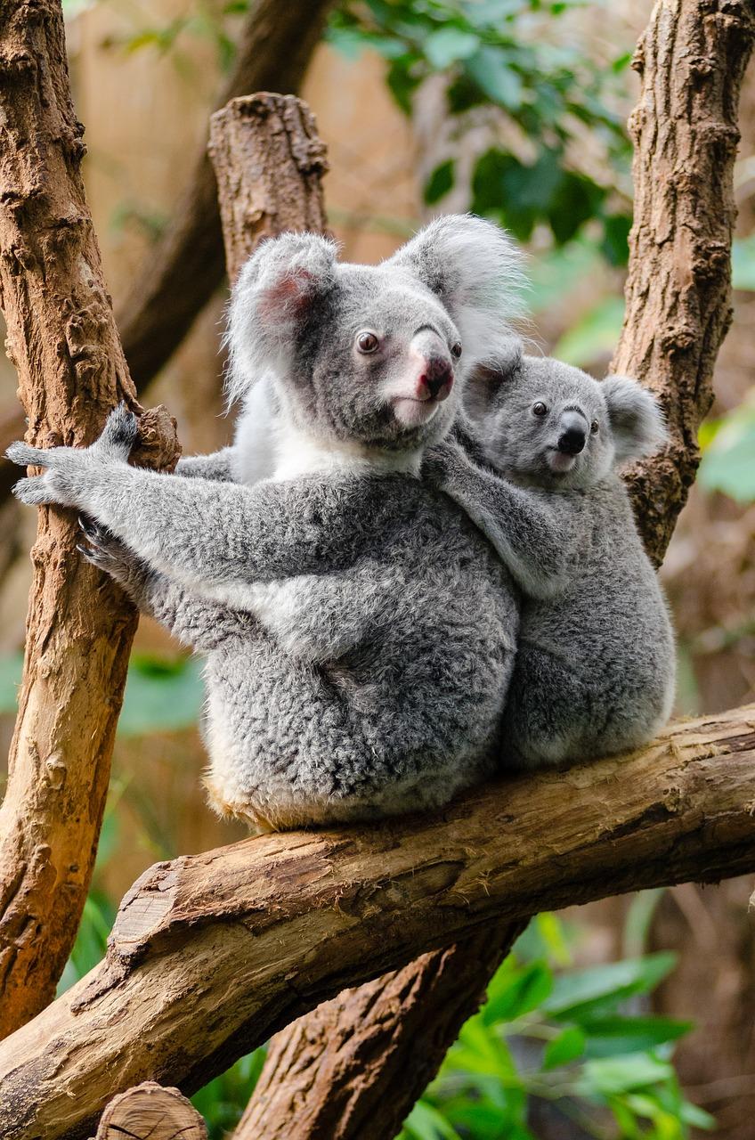 5 animales característicos de Australia - Koala