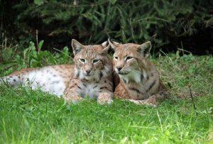 5 animales más característicos de Francia - Lince