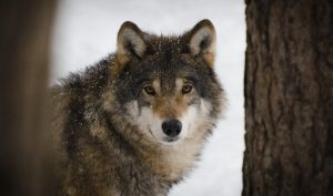 5 animales más característicos de Francia - Lobo