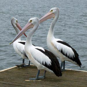 Qué tipo de fauna tiene Australia