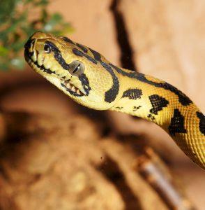 5 animales característicos del bosque tropical - Pitón