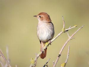 5 animales característicos del bosque caducifolio - Ruiseñor