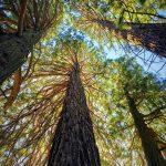Bosque de Secuoyas: [Características, Flora, Fauna y Temperatura]