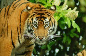 El tigre de Sumatra