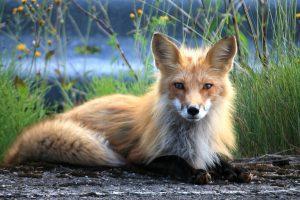 5 animales más característicos de Francia - Zorro