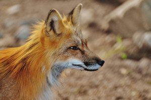Qué fauna predomina en el clima semiárido