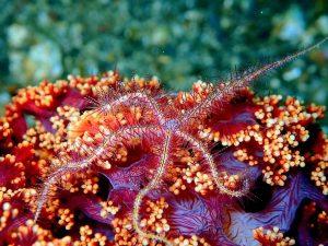 5 animales característicos de España - Coral rojo