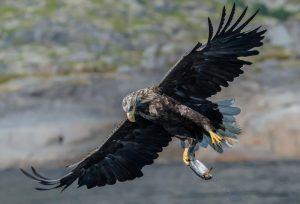 5 animales característicos del clima oceánico - Águila de cola blanca