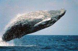 5 animales característicos del océano Ártico - Ballenas de Groenlandia