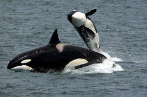 5 animales característicos del océano Atlántico - Orca