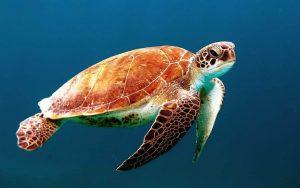 5 animales característicos del océano Índico - Tortuga Laúd