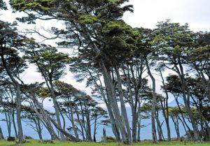 5 árboles característicos de la zona austral - Coigüe del Magallanes