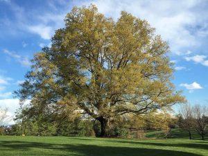 5 plantas y árboles característicos de España - Roble