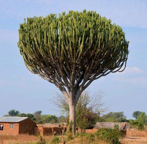 5 plantas y árboles característicos de la sabana - Árboles de candelabro
